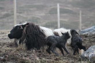 Drottning mit ihren Töchtern 5 Minuten nach der Geburt